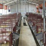 Xử lý nước thải chăn nuôi heo cần chú ý gì?